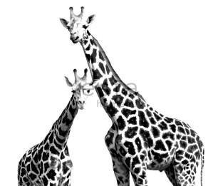 Фотообои 2 Giraffes 158701